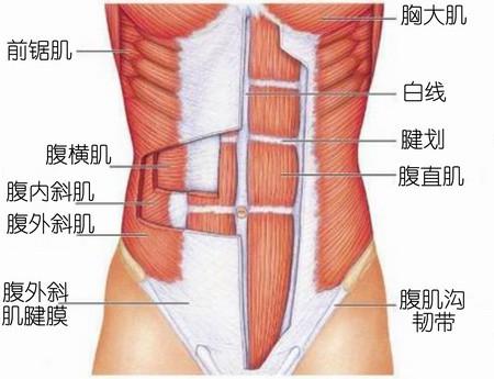 腹肌 拥有 完美 你能/图中红色为腹直肌,此为解剖示意图,非真实解剖照片。图片来自...