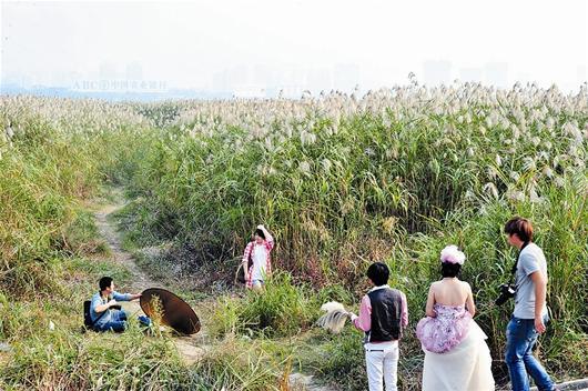 婚纱照 李辉摄/楚天都市报讯图为:汉口江滩的芦苇,是许多准新人心仪的外景...