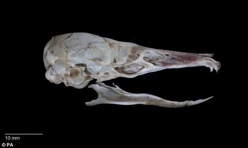 印尼现啮齿动物新物种 形似老鼠用鼻吸食物图片