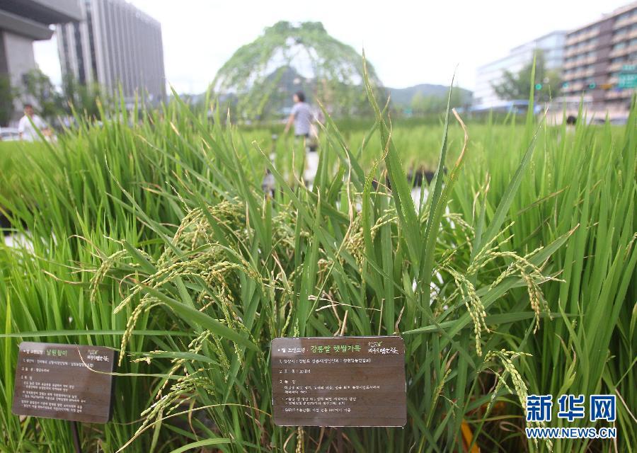 别具一格!韩国首尔光化门广场摆水稻作装饰组