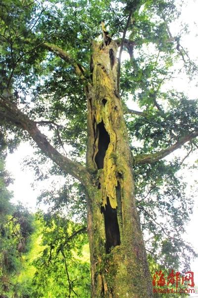 莆田 庄边 红豆杉/红豆杉已没树顶,但仍枝繁叶茂