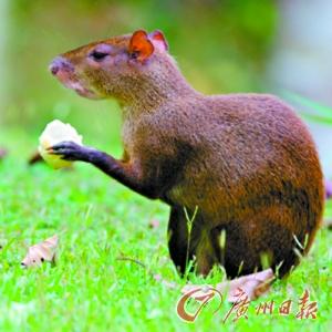 人与动物求种子_最新研究证实啮齿动物是热带棕榈林保护者(图)