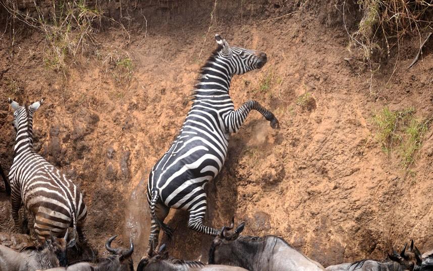 肯尼亚动物迁徙 为避鳄鱼狂奔渡河(组图)