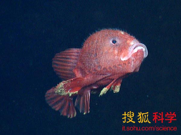 深海琵琶鱼_