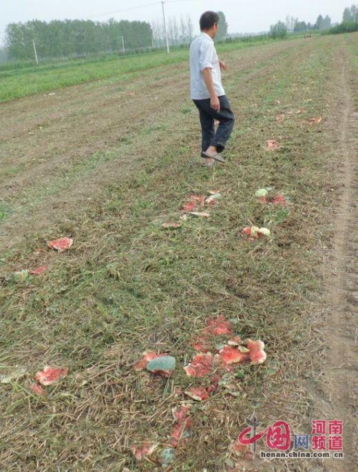 吕潭乡成熟的西瓜被压毁在瓜田中