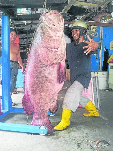 古楼渔村首次捕获重量达111.5公斤的大龙趸,村民都争相目睹。马来西亚光明日报