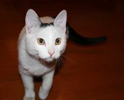 图为会说话的小猫阿贵