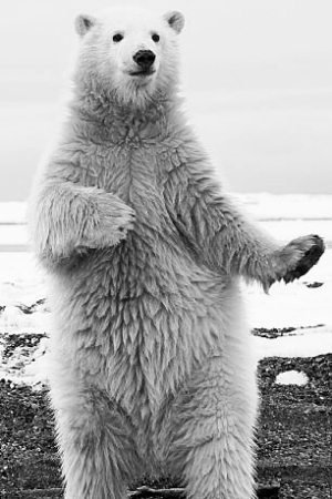 哺乳动物 熊 北极熊 跳舞_哺乳动物 熊 北极熊 跳舞