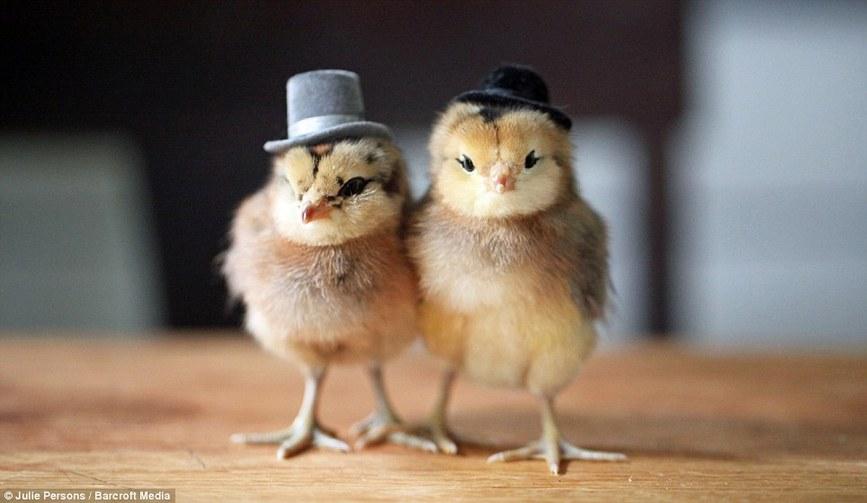 创意 范儿/惊艳!有范儿!摄影师为小鸡制作帽子创意十足(组图)