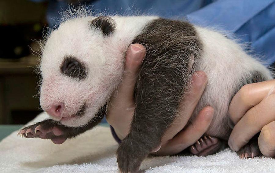 一只刚在美国出生不久的大熊猫幼崽也来凑热闹,它便是旅美大熊猫白云图片