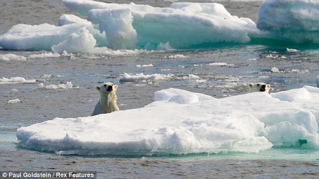 北极熊上演生死追逐:环境恶化致北极熊同类相食