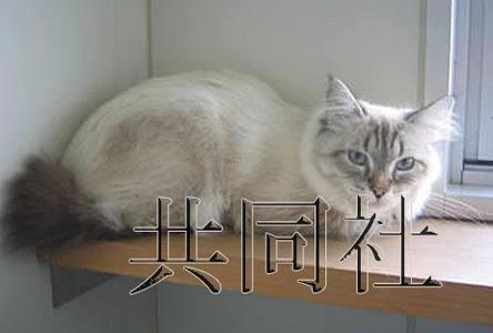 图为俄罗斯总统普京回赠秋田县的西伯利亚猫。照片由日本秋田县提供