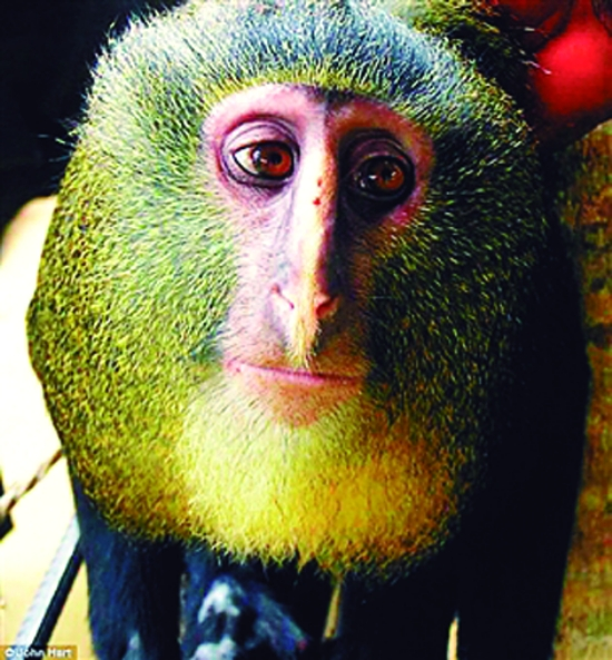 """""""猫头鹰脸""""猴(图)"""