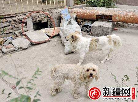 19日,幸福屯小区,在被扒开的洞口,剩下的两只流浪狗在溜达。(本报记者邹恺摄)