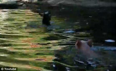 小猪跳下池塘,营救山羊宝宝