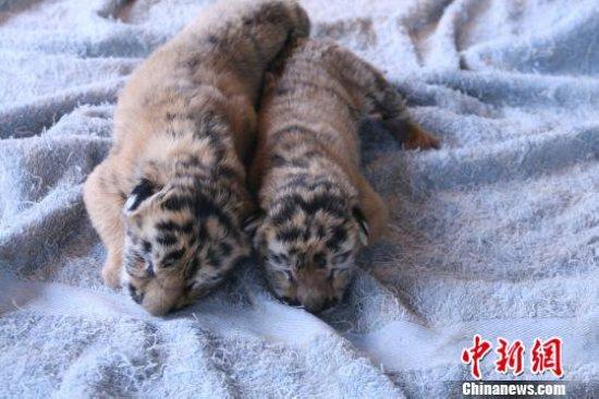 中新网上海9月28日电(记者陈静)上海野生动物园今日披露,该园一只母松鼠猴诞下一对双胞胎。在中国各地野生动物园,松鼠猴生下双胞胎此前鲜有报道。   据介绍,松鼠猴是一种产于南美洲的小型猴类,属于国际附录二珍稀保护动物,每年产一仔,孕期6个月。此番上海野生动物园的松鼠猴一胎生两子,为十几年来罕见。   据饲养员介绍,猴妈妈已经7岁,相当于人的中年,这次能成功繁殖真的很不容易。   除了松鼠猴岛,上海野生动物园的东北虎馆也传来喜讯,26日,东北虎宁宁也产下了一对龙凤胎双胞胎,由于宁宁是首次生产,对于哺育幼