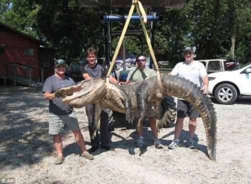 被捕获的这条巨型鳄鱼重300多公斤