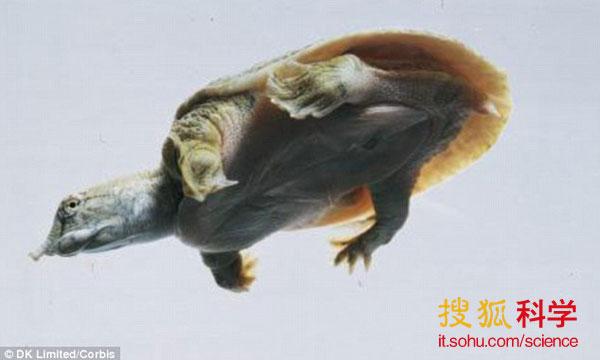 甲鱼在东南亚地区被广泛养殖,当地人将其看作是美味佳肴。但科学家最新研究却发现了甲鱼的一种独一无二本领: