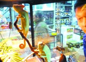 十里河市场待售的变色龙。