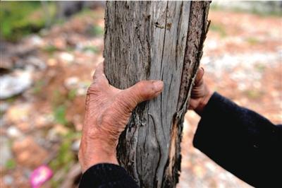 20多年前亲手种下的柏树如今已成材。