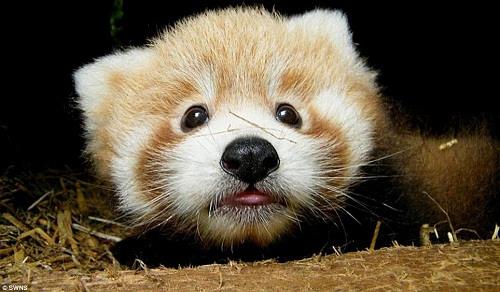 大的样子_可爱小熊猫宝宝亮相英国动物园萌倒众人(图)-搜狐新闻