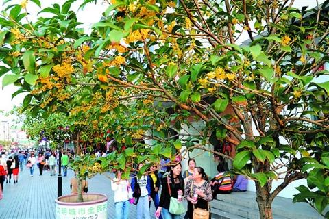 城街头和公园里的许多桂花树竞相绽放,香气四溢,为深秋的古城增添美景