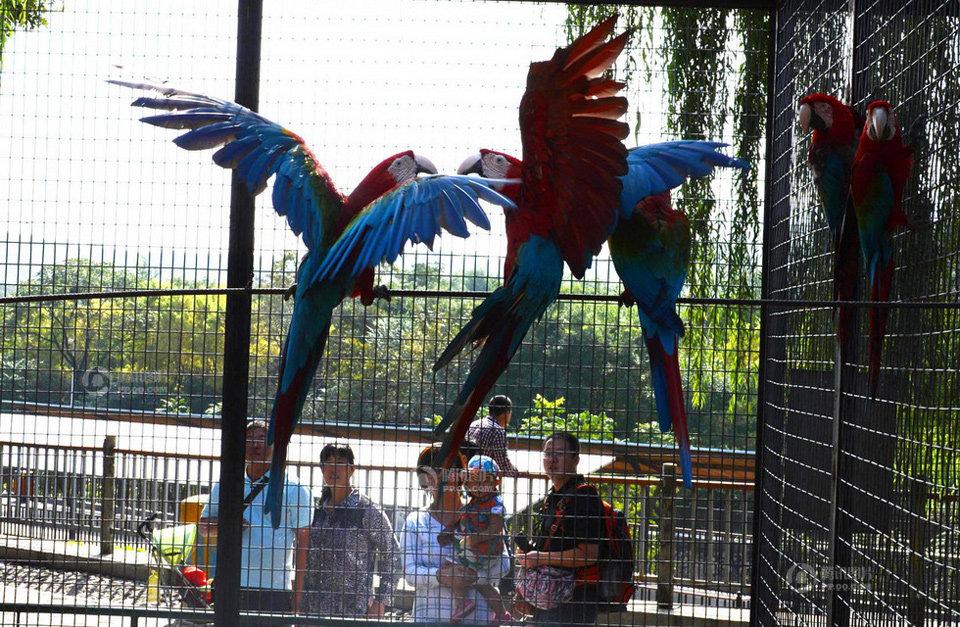 9月26日,石家庄市动物园内两只嬉戏的鹦鹉引得游客驻足观看.
