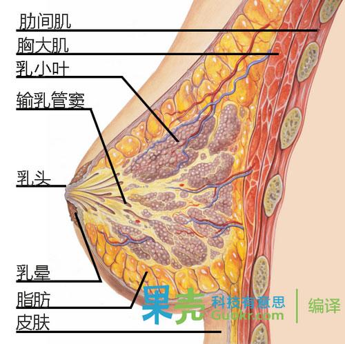 乳房纵切面图示。
