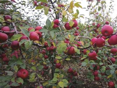 这次宁波奉化名特优农产品(萧山)展销中心为萧山市民带来云南高山上野生苹果,野生苹果生长在得天独厚的大山上,肥沃的土地和自然生长环境成就了苹果的高品质,不经过任何施肥和