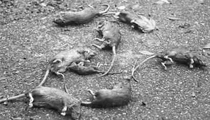 许多老鼠在飓风来袭期间淹死
