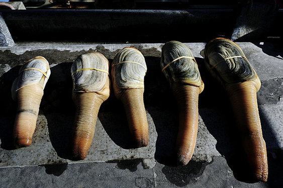 现场 象拔蚌/外国人捕捞巨型象拔蚌现场尝鲜