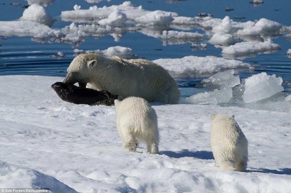 北极熊照片_北极熊另一面:凶残捕食海豹哺育幼崽【图】-搜狐滚动