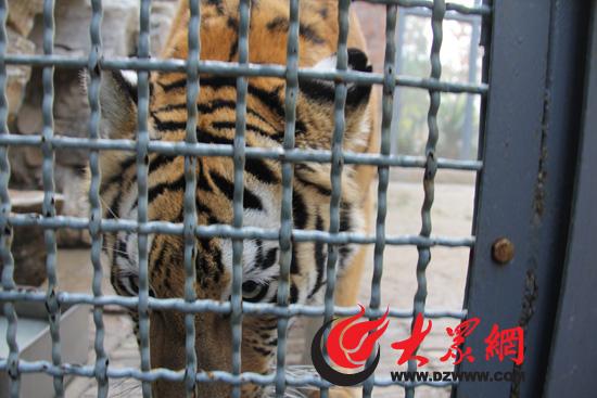 (记者 尹海洋 盛堃) 走进济南动物园,不能错过的园区当属狮虎园.