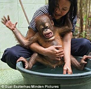 马来西亚可爱小猩猩想尽办法拒绝洗澡(组图)