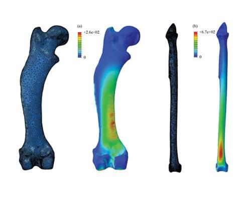 利用假定圆柱形骨骼的方式计算动物的重量时,会使得计算结果比实际数据高出1.42倍。图中展示的是刺猬和海鸦的腿骨图。