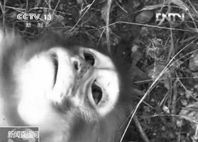在资溪县一国有林场,刚刚被枪杀的猕猴。