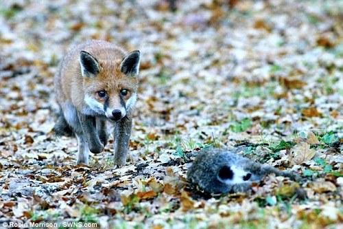 一只突然出现的狐狸盯上了野兔。