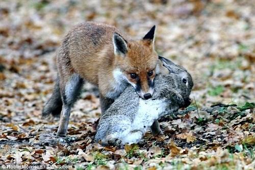 这只狐狸毫不客气地把野兔叼走,小白鼬痛失美餐。