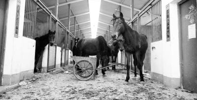 """昨天,11匹""""越狱""""的马被关在一个大马厩内。记者王翮 摄"""