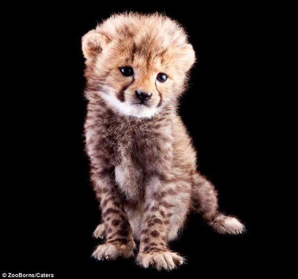 这只猎豹幼崽名为卡西,是这本旨在教育人类了解濒危物种同时资助保护项目的新书的主角之一。从丹麦斯堪的纳维亚野生动物园的北极熊幼崽斯库到在南非坎果野生动物农场出生的侏儒河马哈里王子,这些照片都能打动人心,但它们都处在濒危境地。 (责任编辑:刘逦昱一)