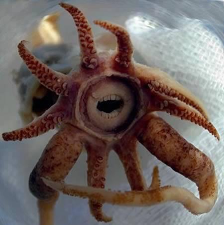 长着类似人类牙齿的鱿鱼