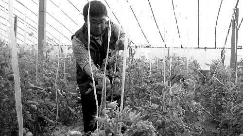 郭可江在他的蔬菜大棚里劳作