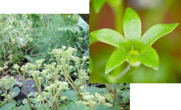 这种植物具有圆锥形的花朵,能够捕获水滴。