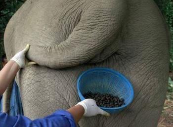 近日有人研发出象屎咖啡,售价高昂。
