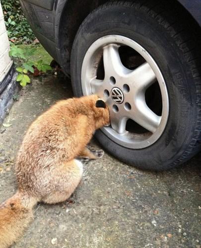 这只狐狸把头卡在轮胎的轱辘里,无法挣脱。