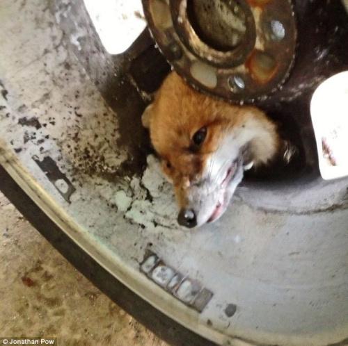 消防员拆卸掉轮胎后,才最终帮狐狸脱离困境。