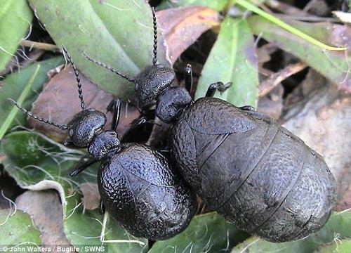 自1906年后,人们就没有在英国发现地中海泌油甲壳虫