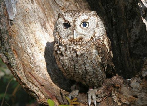 猫头鹰依赖其敏锐的听觉系统以探测猎物。