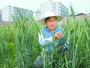 赵昌平在田间观察新培育的小麦。