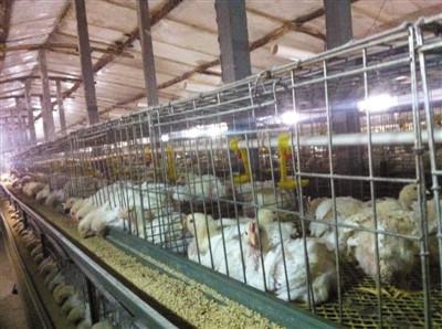 昨日,在山东高密市一家被查封的养鸡场里,还有一批尚未出栏的白羽鸡。鸡舍内温度大约30摄氏度,每隔几米有一盏亮着的灯。